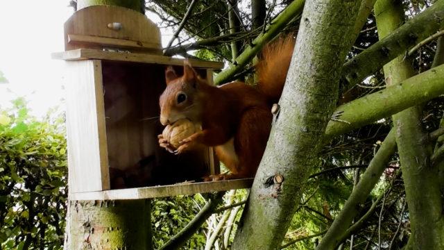 Eichhörnchen beim Nüsse suchen (2)