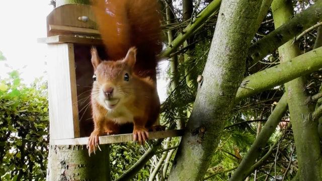Eichhörnchen beim Nüsse suchen (6)