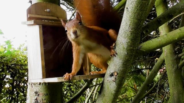 Eichhörnchen beim Nüsse suchen (7)