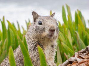 Grauhörnchen Steckbrief