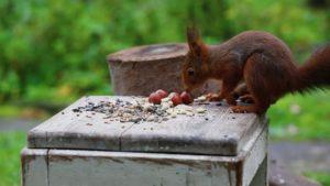 Eichhörnchen und Gartenvögel füttern