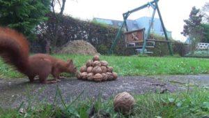 Eichhörnchen wetzt durch den Garten