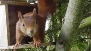 Eichhörnchen beim Nüsse suchen