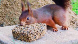 Die Eichhörnchenbalz
