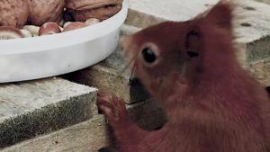 Eurasisches Eichhörnchen