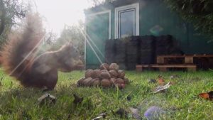 Squirrel Video for Cats to watch – Squirrel eating Nuts